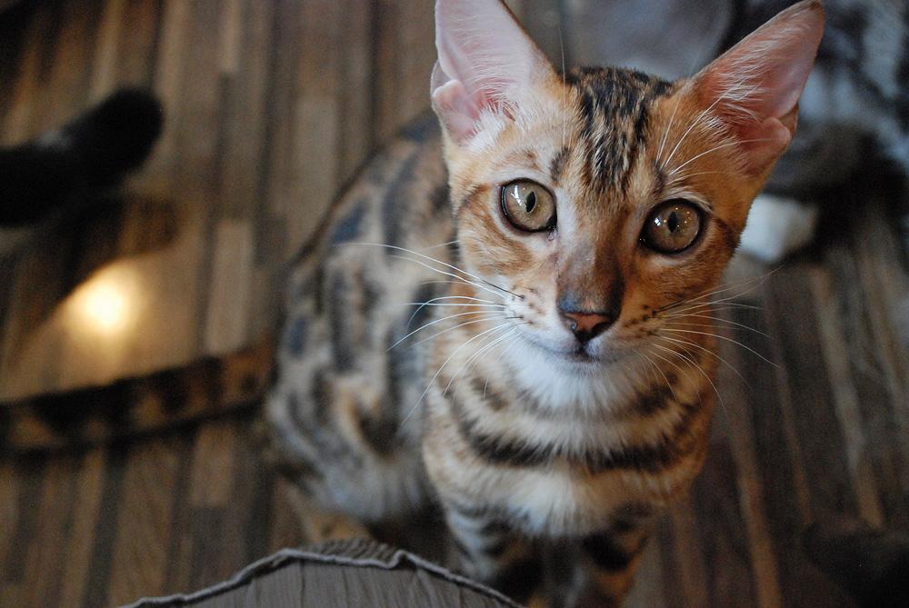 「フリーダムカフェ」の猫たちは血統書付き