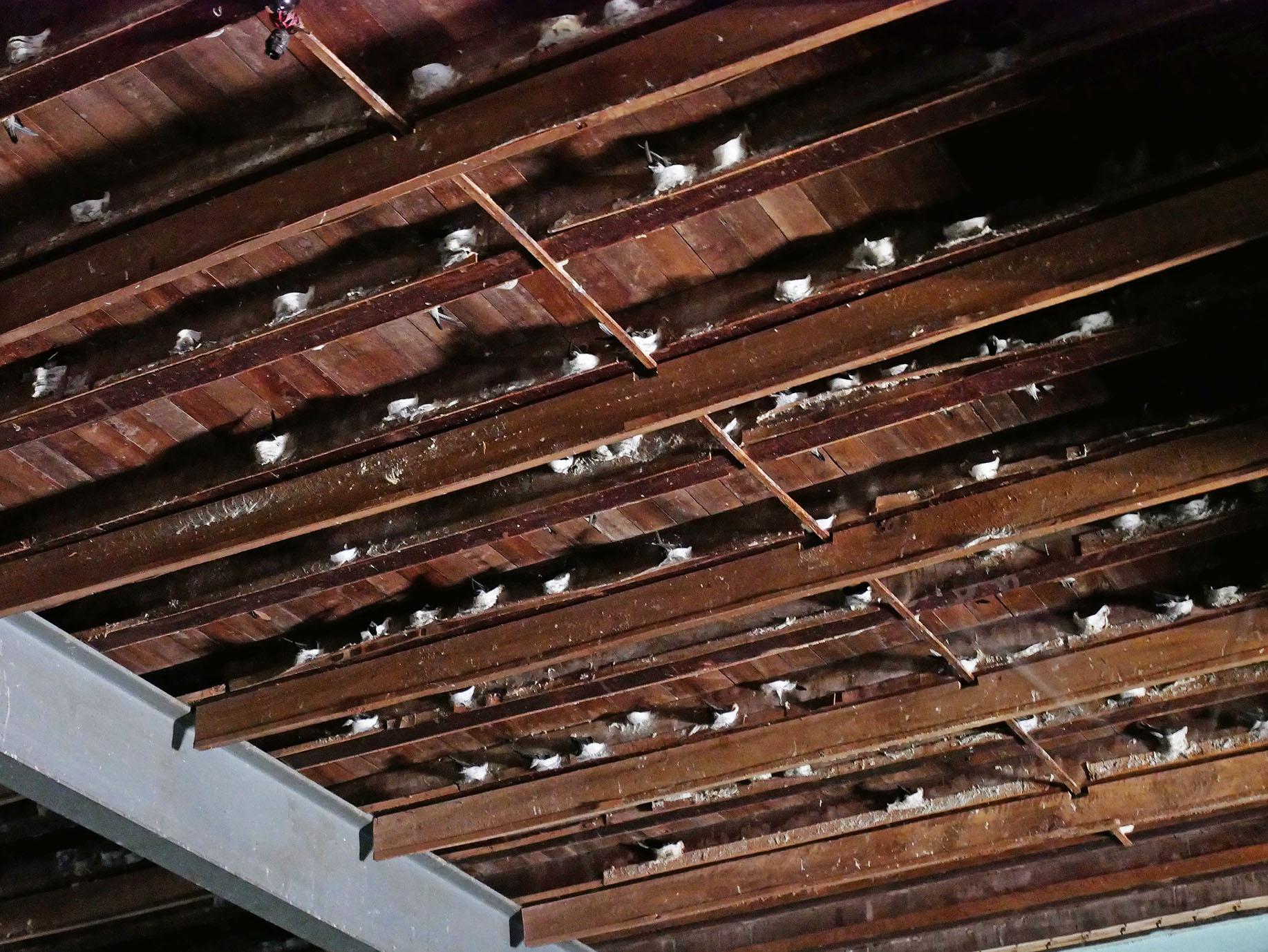天井の梁に付着している白いものが燕の巣